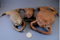 Stuffed Toads