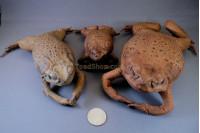 Stuffed Toads