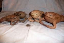 Stuffed Cane Toad
