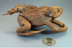 """Prehistoric"" Stuffed Cane Toad with Fin"